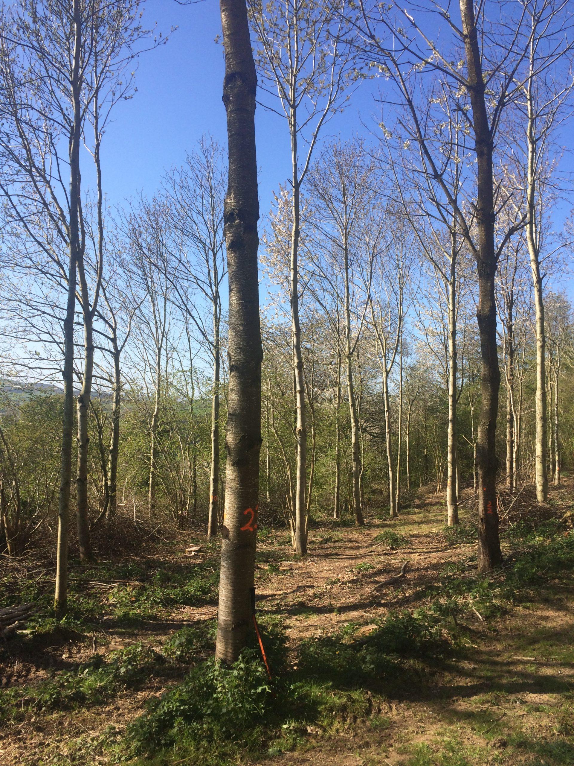 Growing broadleaf for timber